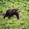 Urs lângă o mânăstire din Vâlcea. S-a transmis mesaj pe Ro-Alert