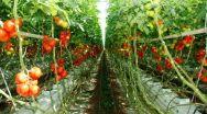 S-a prelungit termenul până la care se acordă sprijin financiar producătorilor de tomate